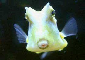 海水观赏鱼--牛角鱼