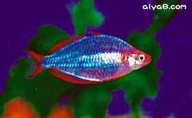 美丽的电光美人鱼