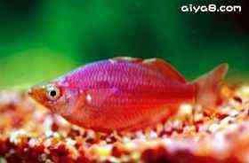红美人小型鱼
