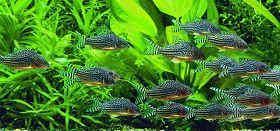 鼠鱼饲养繁殖