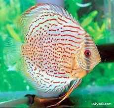 人工红点绿七彩神仙鱼