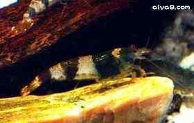 蜜蜂虾一只