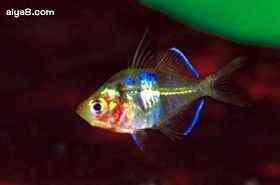 绿鳍玻璃鱼