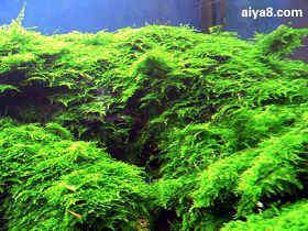 水晶莫丝水草