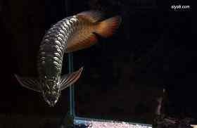 龙鱼烂鳃病病因与防治方法