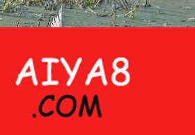 鳄鱼猎杀白鹭