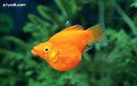 金球小型鱼