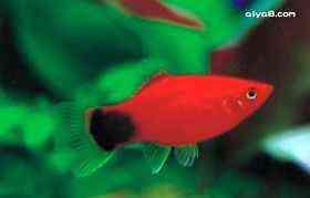 米老鼠小型鱼
