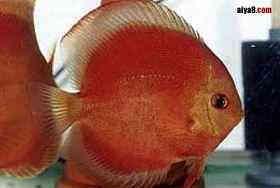 七彩神仙鱼为什么拉白便
