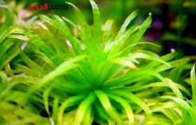 波叶太阳水草