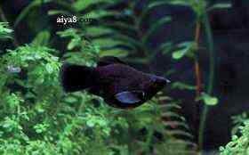 黑球小型鱼