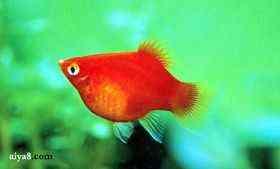 红球小型鱼