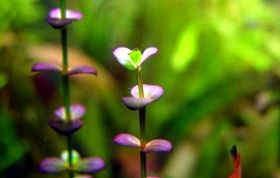 紫红圆叶水草