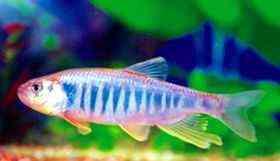 红猫小型鱼