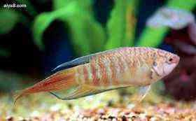 彩兔小型鱼