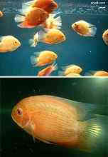 菠萝鱼疾病与预防