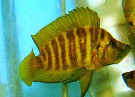 玛必塔红翅黄金珍珠虎鱼