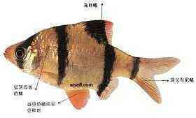 虎皮鱼繁殖