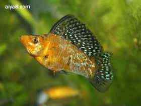 玛丽鱼繁殖