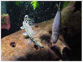 巨型食人鱼图片_第6页_大型观赏鱼饲养_大型观赏鱼品种图片_观赏鱼大全