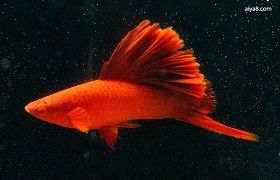 红剑鱼疾病水霉病