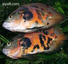 地图鱼的繁殖