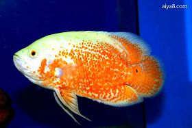 地图鱼常见病及其治疗方法