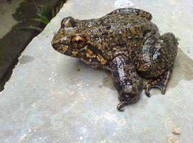 石蛙养殖中的几个关键