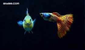 马赛克孔雀鱼