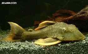 黄帆骑士异型鱼