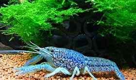蓝龙纹虾繁殖