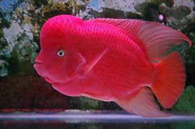 红马骝罗汉鱼