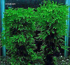 针叶莫丝水草