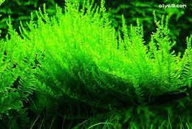 直立莫丝水草