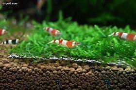 水晶虾饲养技术