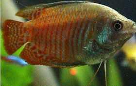 丽丽鱼的饲养与繁殖