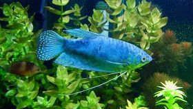蓝曼龙蓝线鳍鱼