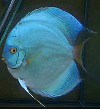 天子蓝七彩神仙鱼