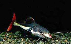 红尾鸭嘴鱼