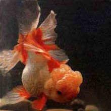 口镶红金鱼