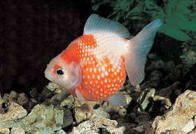 金鱼的繁殖