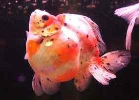 鱼鳔失调症