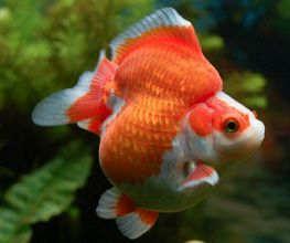 金鱼细菌性烂鳃病的成因及治疗