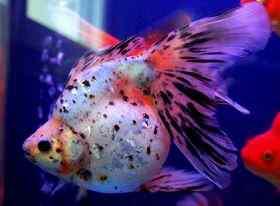 金鱼疾病的几种治疗方法