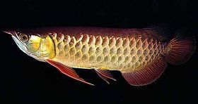 高背红尾金龙鱼图片