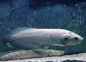 尼罗河龙鱼