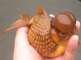 红皇冠珍珠金鱼