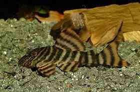 贝伦花面金老虎异型鱼
