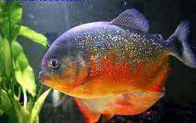 神奇威猛的胭脂水虎鱼