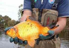 澳洲现40厘米长超大金鱼 在咸水中可生存
